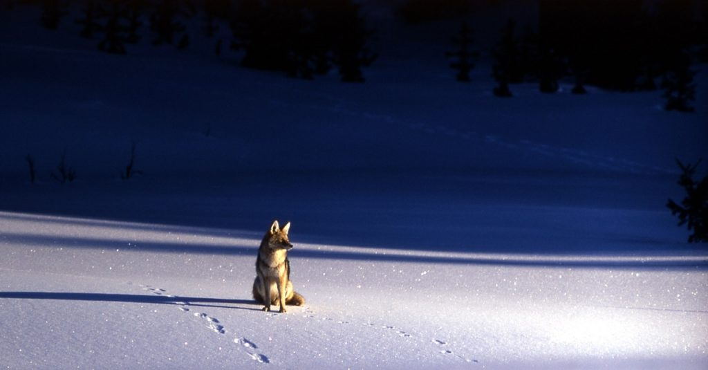 coyote in snow at night