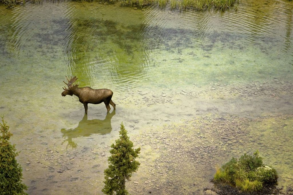 Moose walking in water