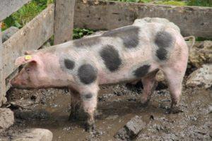 pig in pen