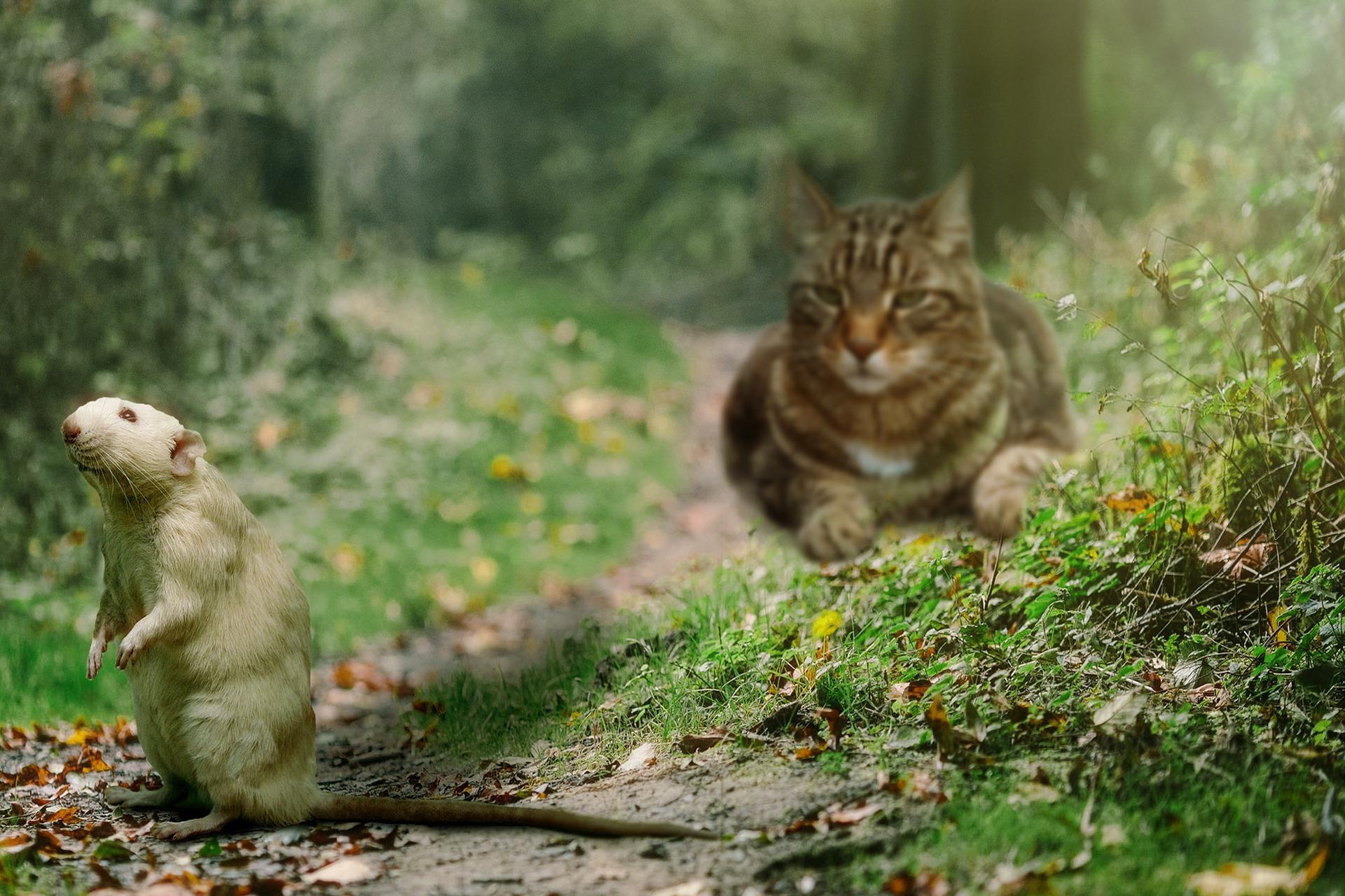 cat watching rat