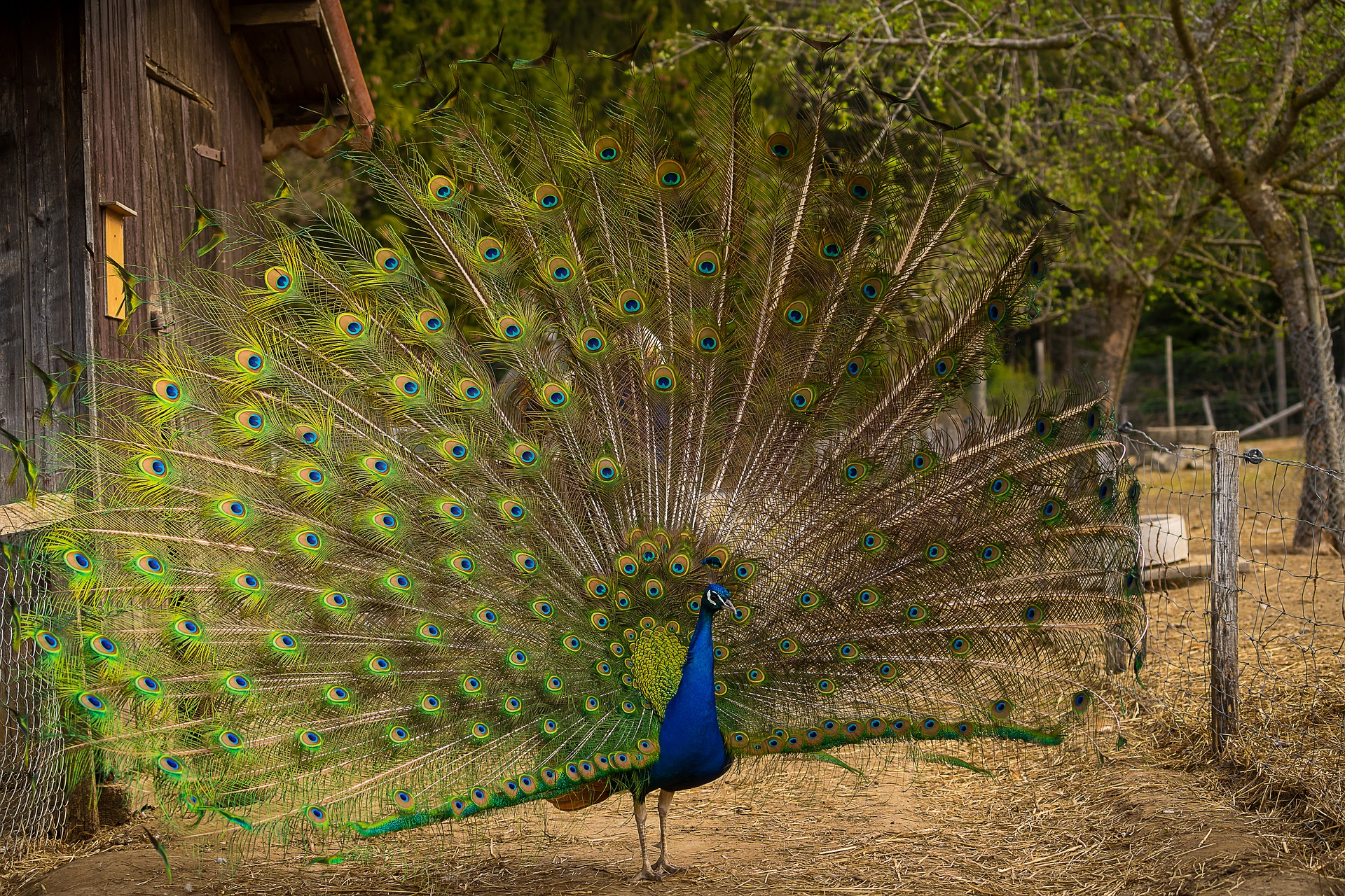 A male peacock showing off its beautiful tail
